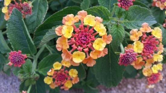 The Westin Lake Las Vegas Resort & Spa : Some of the beautiful flowers on the grounds