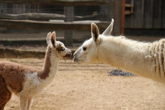 ZSL London Zoo : A new addition to the llama family.