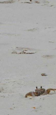 St. Joseph Peninsula State Park: Crab.