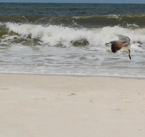 St. Joseph Peninsula State Park: Bird in flight.
