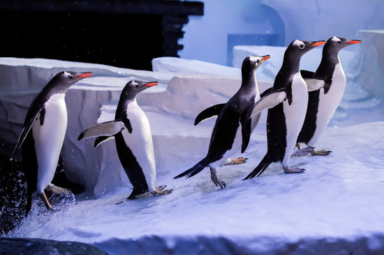Kingston-upon-Hull, UK: Gentoo penguins jumping out of water