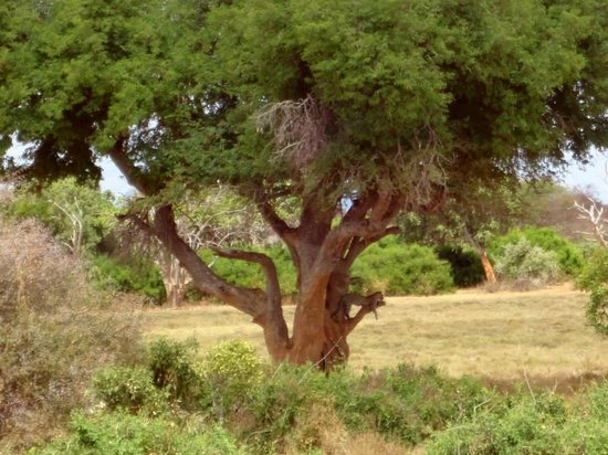 Tsavo East: Leopardo