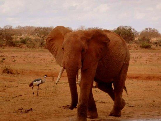 Tsavo East: Elefante