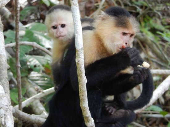Jungle Land Panama: Day Excursions : White-headed Capuchin and baby