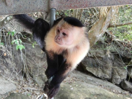 Jungle Land Panama: Day Excursions: White-headed Capuchin visiting the boat
