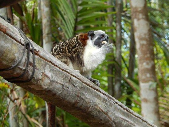 Jungle Land Panama: Day Excursions: Banana eating monkey (I forgot the name)