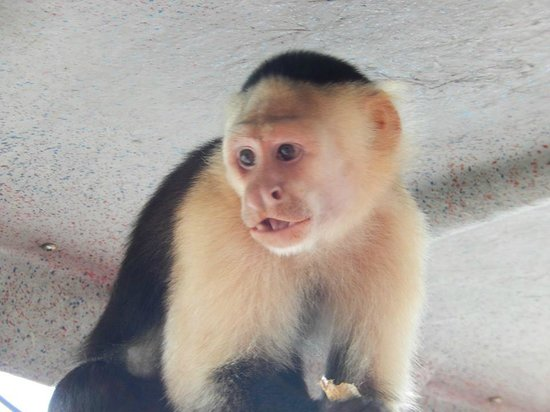 Jungle Land Panama: Day Excursions: White-headed Capuchin on the boat