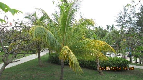 Blau Varadero Hotel Cuba: Palmier