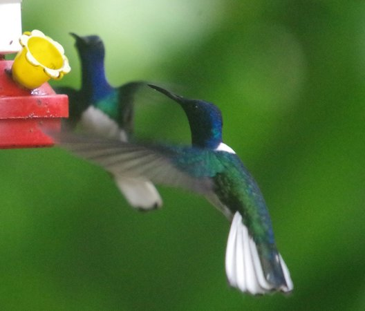 Blue River Resort & Hot Springs: White-necked Jacobin seen in the gardens