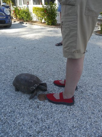 Tropical Winds Motel & Cottages: Friendly tortoise coming to visit