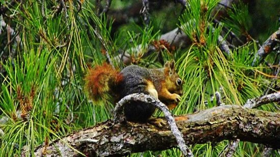 Marmaris Imperial Hotel: One of the red squirrels feasting on an apricot
