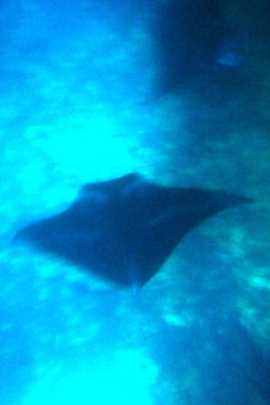 Big Island Divers : mantas