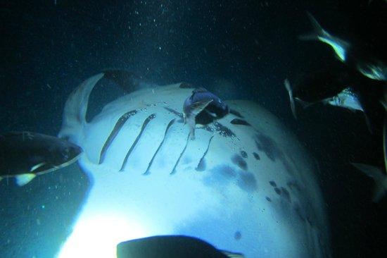 Big Island Divers : manta