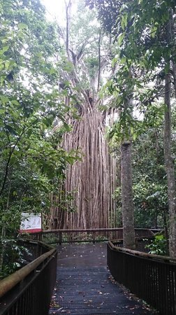 Food Trail Tours: Giant Fig Tree :D