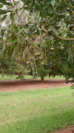 Food Trail Tours: Macadamia Tree