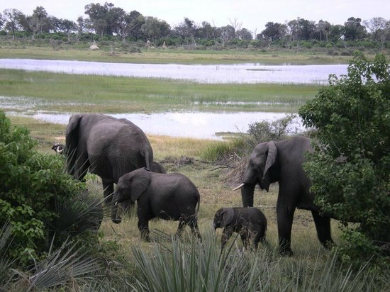 Wilderness Safaris Xigera Camp: Elephant herd outside our room
