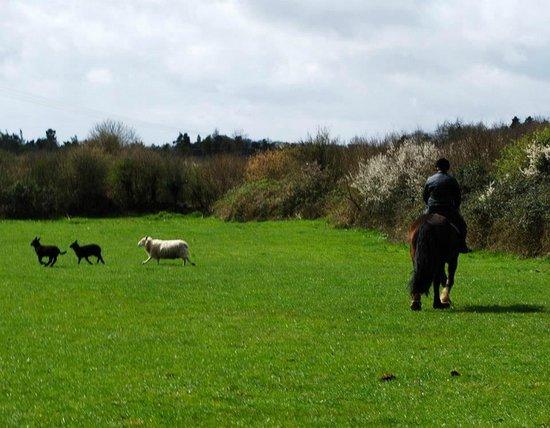 Drumcliffe Equestrian: Sheep herding