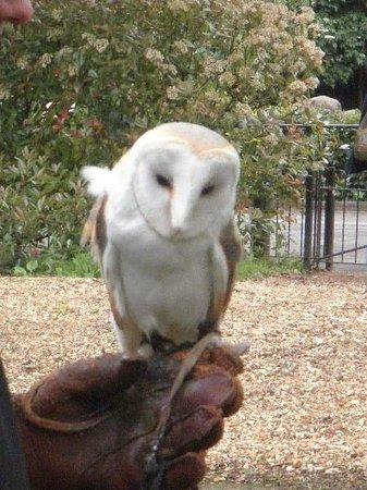 ZSL London Zoo : barn owl