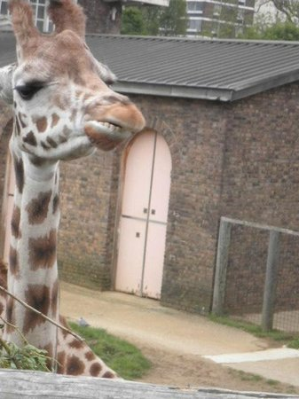 ZSL London Zoo : Giraff high tea, can watch from viewing platform at their head height
