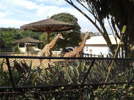 Sao Paulo Zoo : coisas mais fofas as girafas