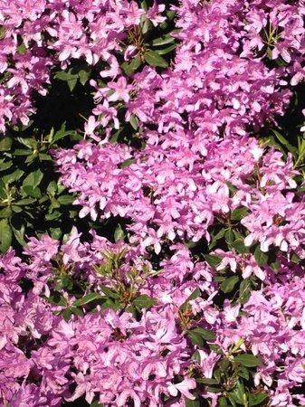 Glendeven Inn Mendocino : Rhododendrons