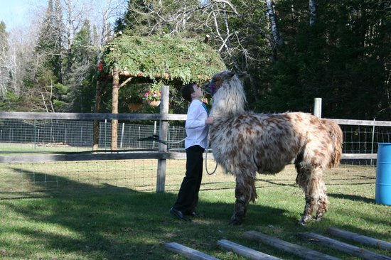 Storybook Farm Llama Trekking B&B: Daniel and Moe... What a couple cuties!