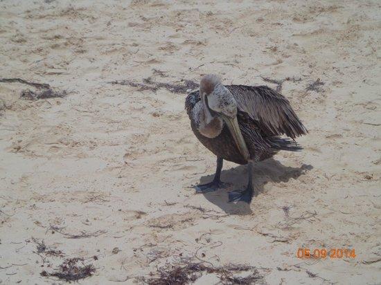Hotel Riu Palace Punta Cana: Pelican on the beach