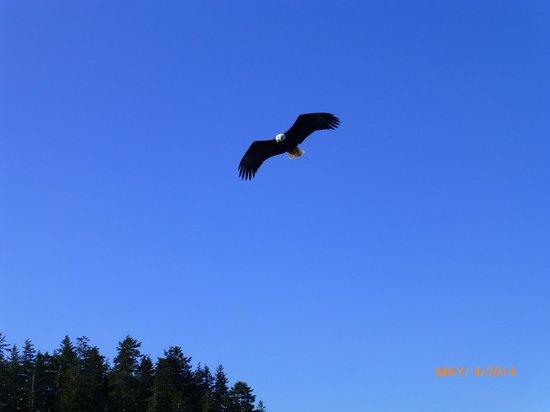 Bering Sea Crab Fishermen's Tour : bald eagle