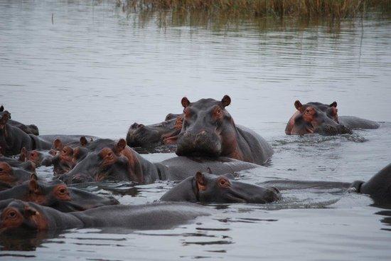 Makakatana Bay Lodge: Hippos