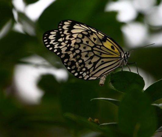 Krohn Conservatory: Butterfly show
