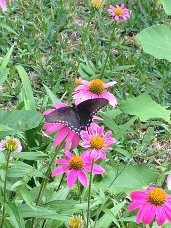 1110 Carriage House Inn: One of many beautiful butterflies we saw in the garden area