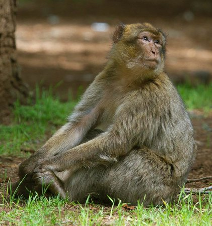 La Perle d'Azrou: Barbary Macaque seen in forest 20 minutes from hotel