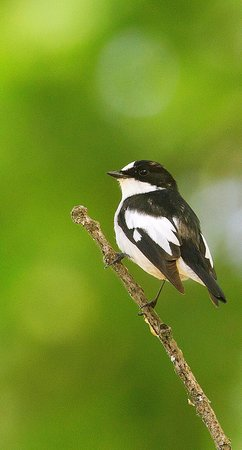 La Perle d'Azrou: Atlas Flycatcher seen in forest 30 minutes from hotel