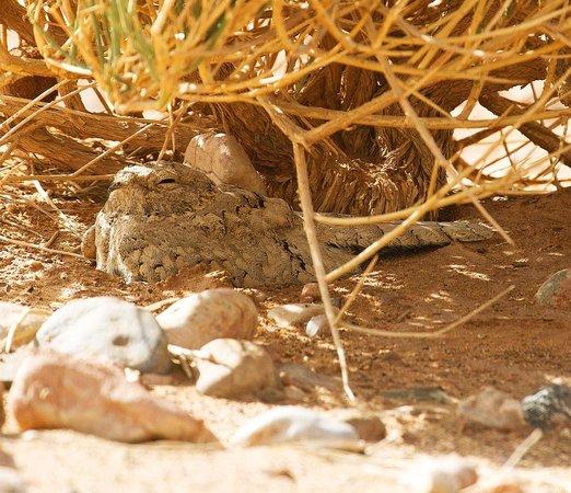 Auberge Derkaoua Chez Michel: Egyptian Nightjar seen close to hotel