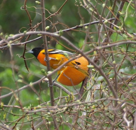 Scusset Beach State Park Campground : Orioles are plentiful