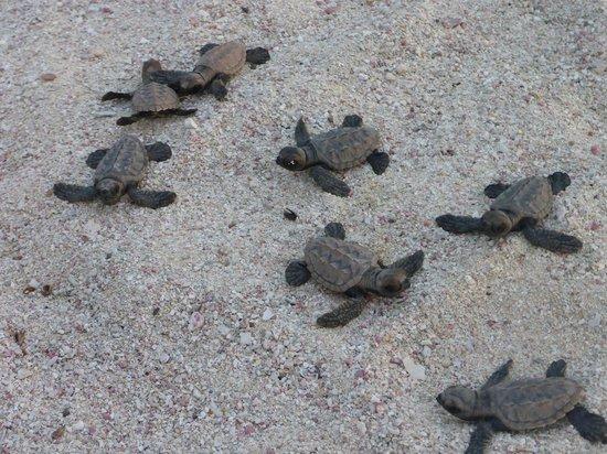 Palm Island Resort & Spa: BABY TURTLES.