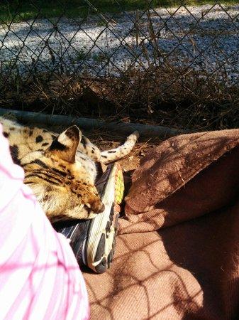 Bear Creek Feline Center: African serval sleeping on my girlfriend's shoe