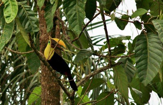Casita Corcovado: Toucan