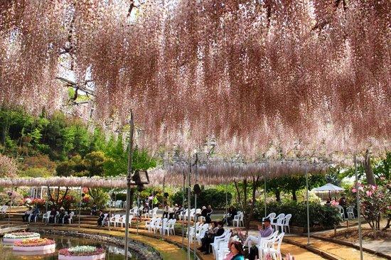 Ashikaga Flower Park: ピンクの藤棚の下でひと息休む