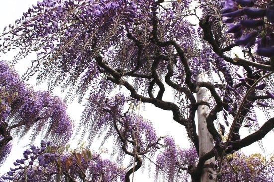 Ashikaga Flower Park: 藤の勢いが見られる一枚