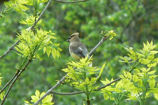 Fort Lewis Lodge: Cedar waxwing spotted on the river trail