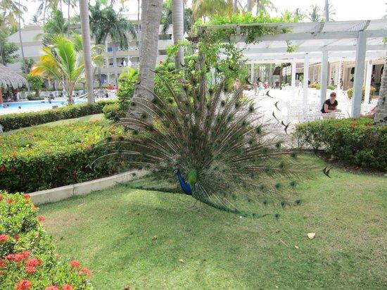 Vista Sol Punta Cana: Pavo Real