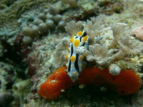 Uepi Island Resort: Nudibranch