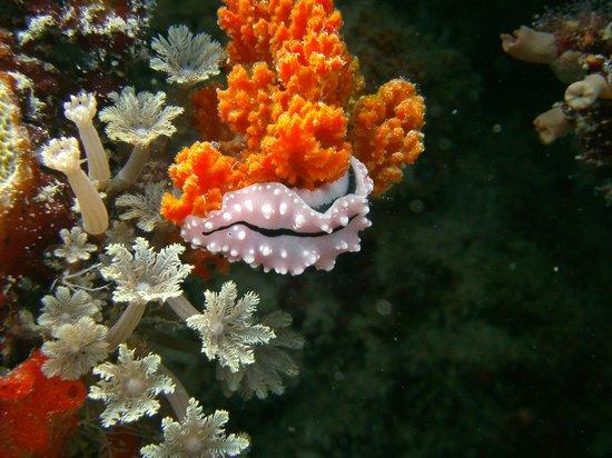 Uepi Island Resort: Nudibranch