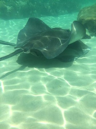 Discovery Cove: massive stingray
