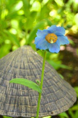 The Butchart Gardens : Blue Poppy, Japanese Garden