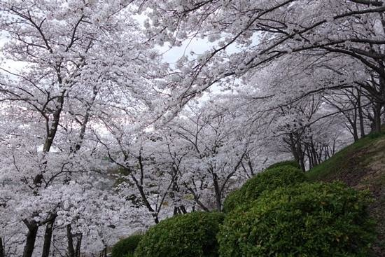 Handayama Botany: cherry blossom along the small hill.