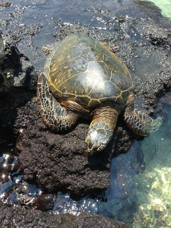Mauna Lani Bay Hotel & Bungalows: How cool is this!!! Turtles just hanging out relaxing, like us!