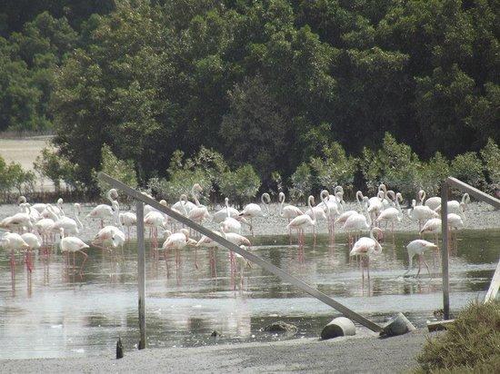 Ras Al Khor Wildlife Sanctuary: flamingoes