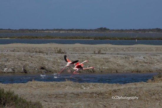 Salin d'Aigues-Mortes : Flamingoes taking off